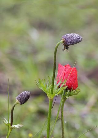 nature reserves of israel: Anemones bloom in the desert Negev, Israel