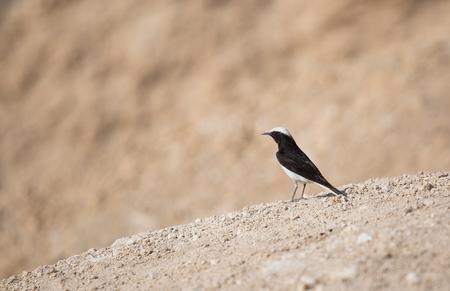 bird of israel: portrait of a bird in the desert of Israel