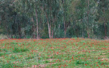 negev: Anemones bloom in the desert Negev, Israel