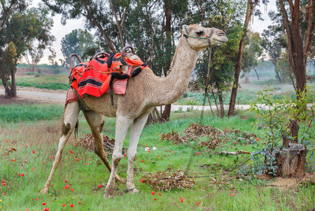 saddle camel: camel on a background of red anemones in Israel Stock Photo