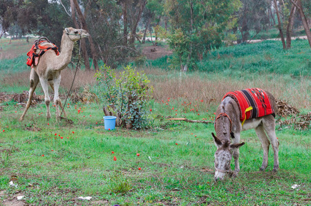 saddle camel: camel and donkey in the meadow with red anemones