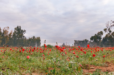 nature reserves of israel: Anemones frosted bloom in the desert Negev, Israel