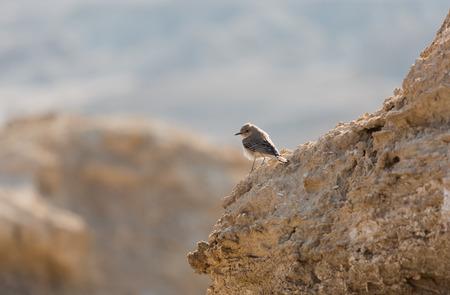bird of israel: portrait bird Lark in the Israeli desert Stock Photo