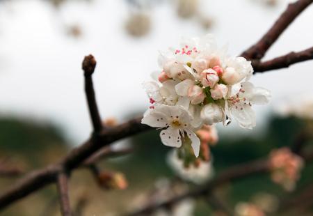season: white flowering apricot branch closeup