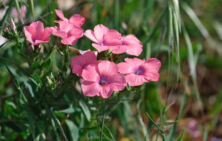 geranium color: Geranium beautiful flower in nature Stock Photo