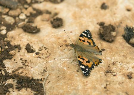 pokrzywka: Pokrzywka Motyl na tle kamienia