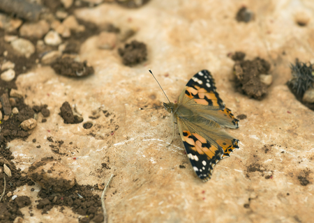 pokrzywka: Urticaria Butterfly on the background of stone