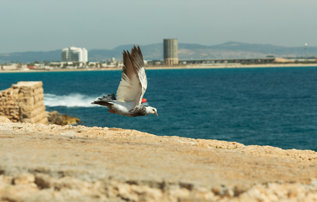 dove flying: dove flying on sea background