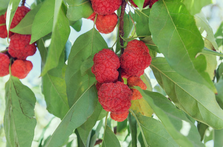 beautiful red fruits of strawberry tree