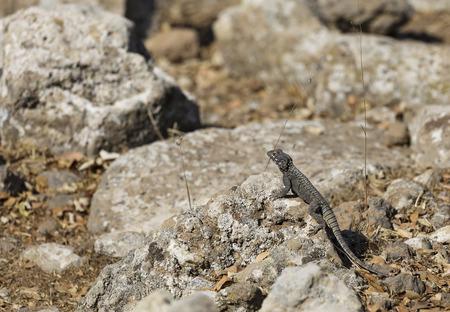 portrait a lizard on a rock