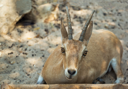 Mountain Goat in zoo