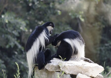 colobus monkeys playing on a rock