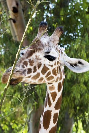 Giraffe portrait on background of trees