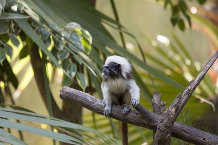 Tamarin is the smallest monkey