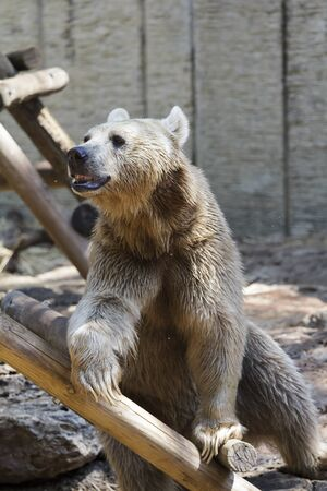 bear playing on a wooden staircase Stock Photo