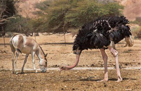 wild ass and ostrich in the desert of Eilat Stock fotó