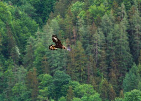 L'aigle s'envole dans les airs