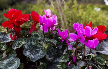 Alpine cyclamen violet red and purple Stock Photo