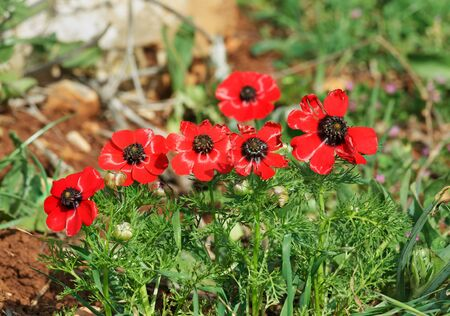 Red Anemones on the green grass in Israel