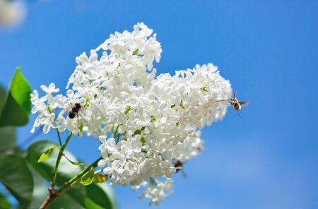 bee sits on a white lilac Stock Photo