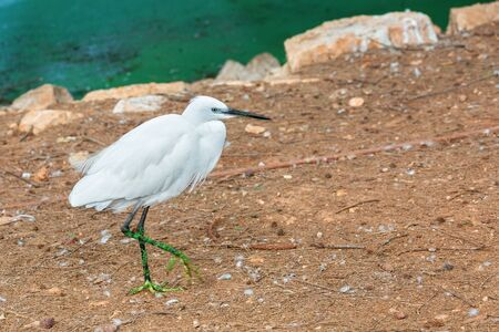 portrait of a small, white heron