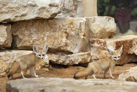 desert fox on a background of yellow stones