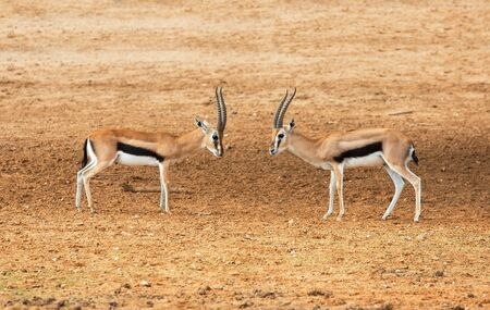 two small Impala fighting for territory in nature 版權商用圖片