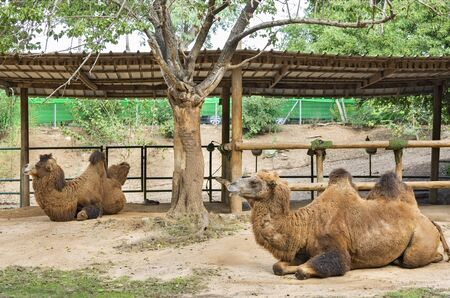 two-humped camel lies in the shade Foto de archivo