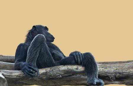 chimpanzee monkey sitting on a log