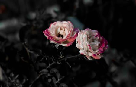 sere: rose