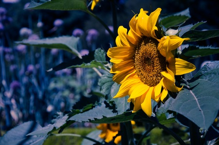 contrasted: With Yellow sunflower contrasted dark blue background