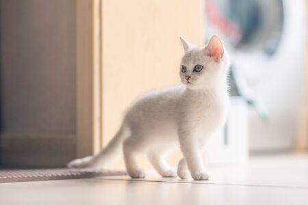 chat britannique Banque d'images