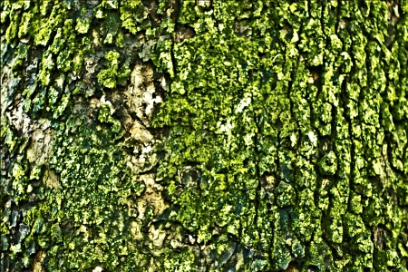 mosses: Close up of a texture of tree bark with moss