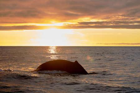 humpback whale body in a beautiful sunset in the atlantic ocean near husavik iceland