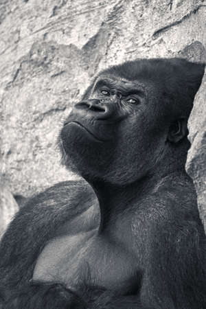 Beautiful medium shot of male gorilla, leader of the pack, looking at the camera while leaning on a rock in black and white