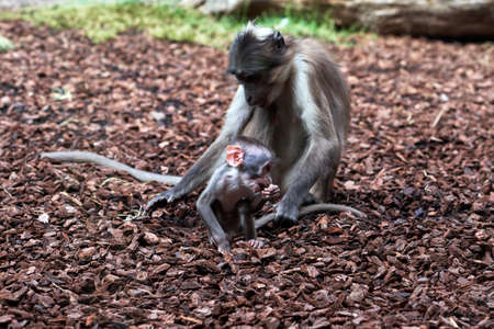 Beautiful white-naped mangabey calf while she modisquees and her mother holds her tail so she doesn't go too far in a zoo in Valencia Spain