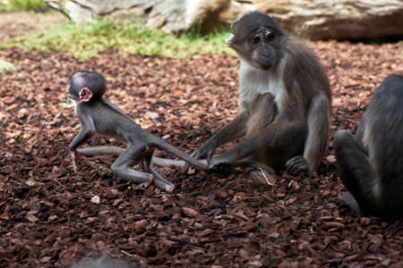 Beautiful white-naped mangabey calf leaping to the side while her mother holds her tail so she doesn't go too far in a zoo in Valencia Spain