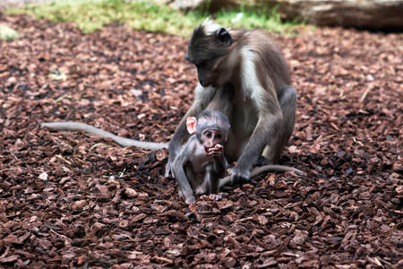 beautiful calf of white-naped mangabey while she modisque looks forward and her mother holds her tail so that she does not go far in a zoo in valencia spain