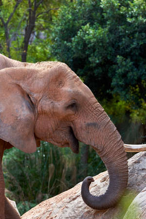 portrait of a beautiful African elephant just before feeding while raising its trunk with its food with vegetation and rocks in the background in a zoo in Valencia Spain