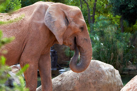 beautiful african elephant feeding with its trunk with rocks and vegetation in the background in a zoo in valencia spain