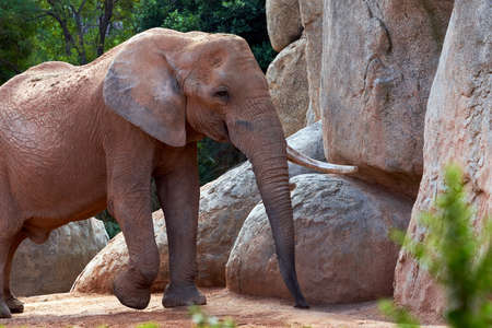 beautiful african elephant walking in his plot with vegetation and rocks in the background in a zoo in valencia spain 版權商用圖片
