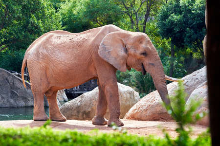 beautiful full-length african elephant with vegetation and rocks in the background in a zoo in valencia spain