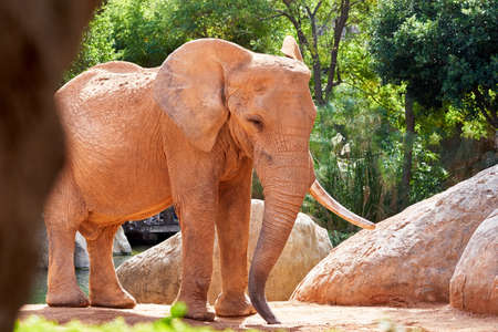 beautiful african elephant with the sun producing dark glades and with vegetation and rocks in the background in a zoo in valencia spain