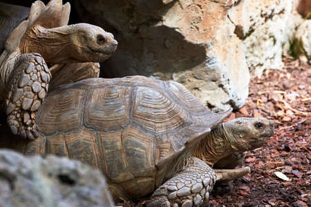 side shot of beautiful leopard tortoises reproducing in a zoo in valencia spain
