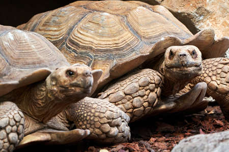 beautiful close up of a pair of leopard tortoises in a zoo in valencia spain