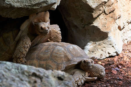 beautiful leopard tortoises in a close-up in their rock cave reproducing while the male's shell collides with the ceiling of the cave in a zoo in valencia spain 版權商用圖片