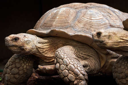 beautiful portrait of a pair of leopard tortoises in a zoo in valencia spain