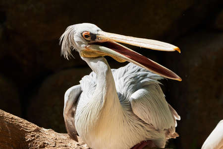 beautiful portrait of pink pelican perched on a tree branch and open mouth in a zoo in valencia spain