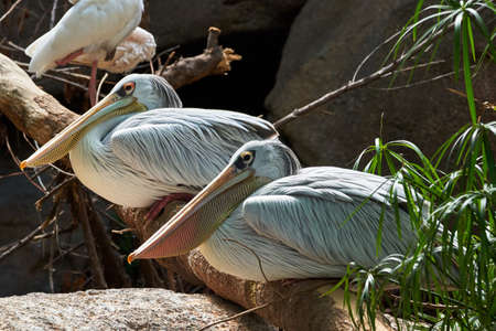 Beautiful portrait of a pair of pink-backed pelicans perched on a tree branch and their beaks looking sideways in a zoo in Valencia, Spain