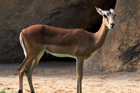 Beautiful full-length portrait of impala on the ground with some rocks in the background in a zoo in valencia spain